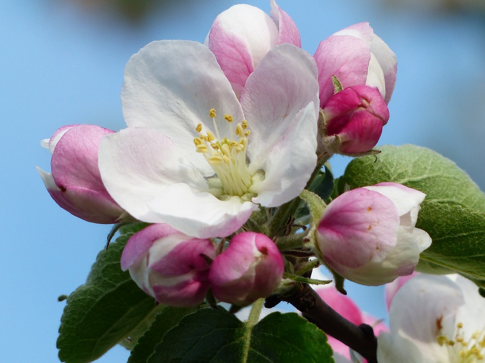 apple-blossom-116408_960_720